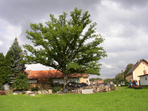 Ošetřování stromů